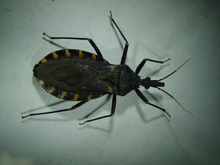 Estudian diferencias genéticas en vectores del Chagas