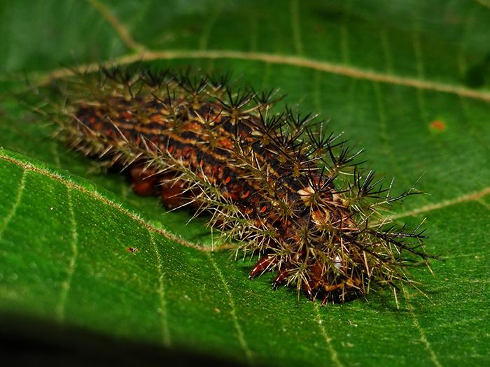 Advierten sobre el riesgo de una oruga venenosa en Misiones