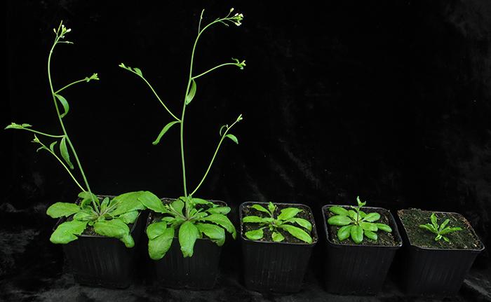 Logran plantas mutantes que envejecen más lento