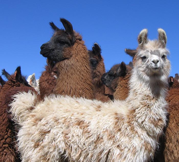 Impulsan en Argentina la producción sostenible de llamas y alpacas