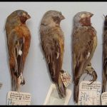 """El ave Sporophila melanops  (primero a la derecha) también llamado """"espiguero encapuchado"""" o """"papa-capim-do-bananal"""". El estudio liderado por el doctor Areta indica que en vez de tratarse de una especie extinta sería un ejemplar peculiar de capuchino."""