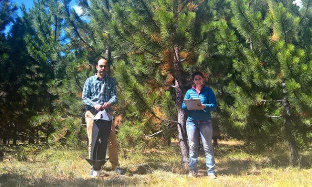 Predicen el riesgo de invasión de escarabajos exóticos que dañan los pinos
