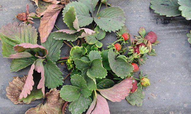 Campos de frutilla por siempre: identifican bacterias que interfieren con su cultivo y buscan combatirlas