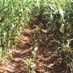Enanismo en las dos columnas de plantas de maíz afectadas por el virus del Mal de Río Cuarto. A los costados están las plantas sanas.