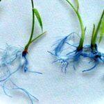 Los científicos de la Facultad de Agronomía de la UBA identificaron mecanismos que incrementan las raíces de las plantas de arroz. Esta cualidad mejora la capacidad de anclaje al terreno y una mejor absorción de agua y minerales.