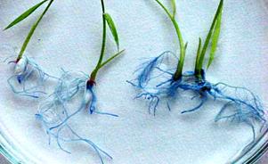 Identifican mecanismo que incrementa  las raíces de las plantas de arroz