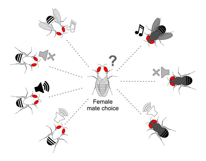 """Revelan secretos y equívocos de la """"serenata"""" nupcial de las moscas"""