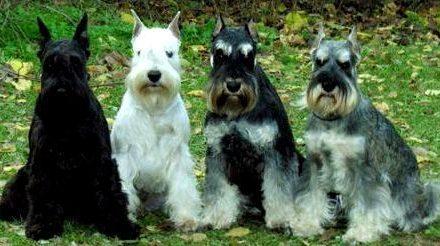 Alertan sobre la seria infección que afecta a una raza de perros