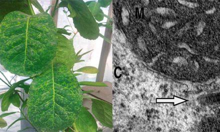 Identifican un virus de la yerba mate