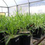 Plantas jóvenes de cebada cultivadas en el invernáculo del Instituto de Investigaciones en Biociencias Agrícolas y Ambientales.