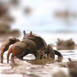 El estudio del cerebro de los cangrejos del barro permite comprender procesos básicos del aprendizaje y de la memoria que ocurren en humanos.