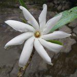 Gardenia oudiepe – una bella planta de Nueva Caledonia – contiene compuestos que podrían ser la base de un fármaco para la gota. Créditos: Hervé Vandrot