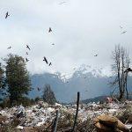 En el basurero de Villa La Angostura hay una gran cantidad de gaviotas. Créditos: Pablo Plaza