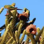 La cotorra patagónica podría estar contribuyendo a la preservación de la majestuosa araucaria. Créditos: Orlando Mastrantuoni