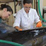 Las doctoras Dra. Carla Fiorito (izq.) y Florencia Grandi, del Centro para el Estudio de Sistemas Marinos (CESIMAR-CONICET), realizando una necropsia a uno de los 49 delfines muertos.  Créditos: Área de Comunicación del CCT CONICET-CENPAT.