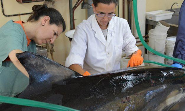 Estudian las causas del varamiento masivo de delfines en Puerto Madryn