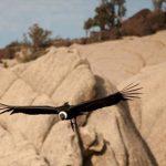 Hembra de cóndor andino equipada con un transmisor satelital GPS en su zona de nidificación.