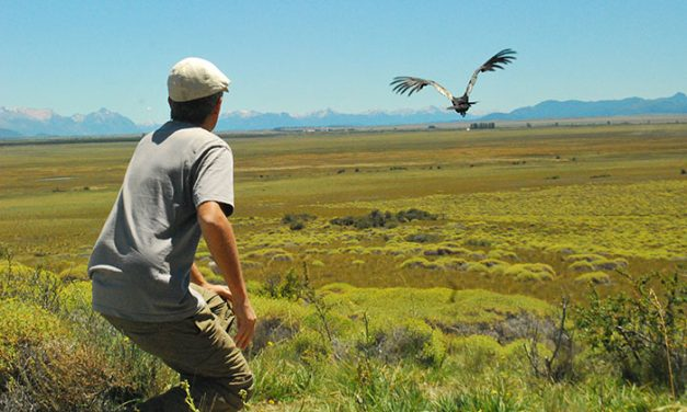 Científicos quieren limpiar la injusta mala imagen del cóndor andino
