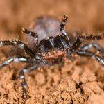 Hadronyche de Tasmania, una araña atracina altamente venenosa, en postura agresiva con los quelíceros (piezas bucales) abiertos preparados para morder. Créditos: Marshal Hedin