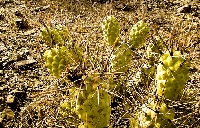 Hallazgo inesperado: la contaminación de una cementera influye sobre el crecimiento de unos cactus