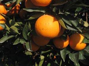 citricos UNNE