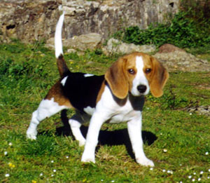 perros-beagle