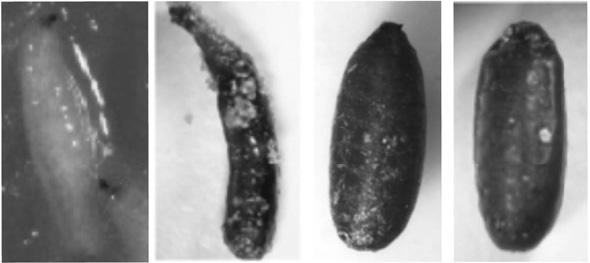 Larvas y pupas