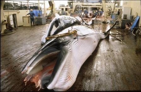 ballenas caza