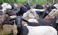 FOTO ovejas deslanadas