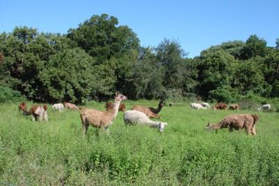 Foto Llamas