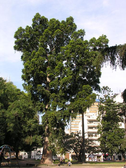 Encuentran en Argentina antepasado de un árbol australiano gigante