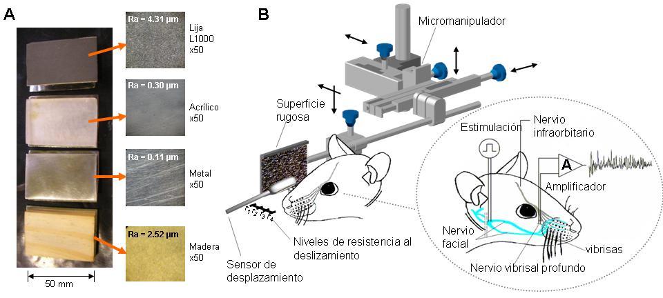 Los bigotes del ratón inspiran aplicaciones tecnológicas