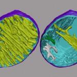Mitocondrias corazon