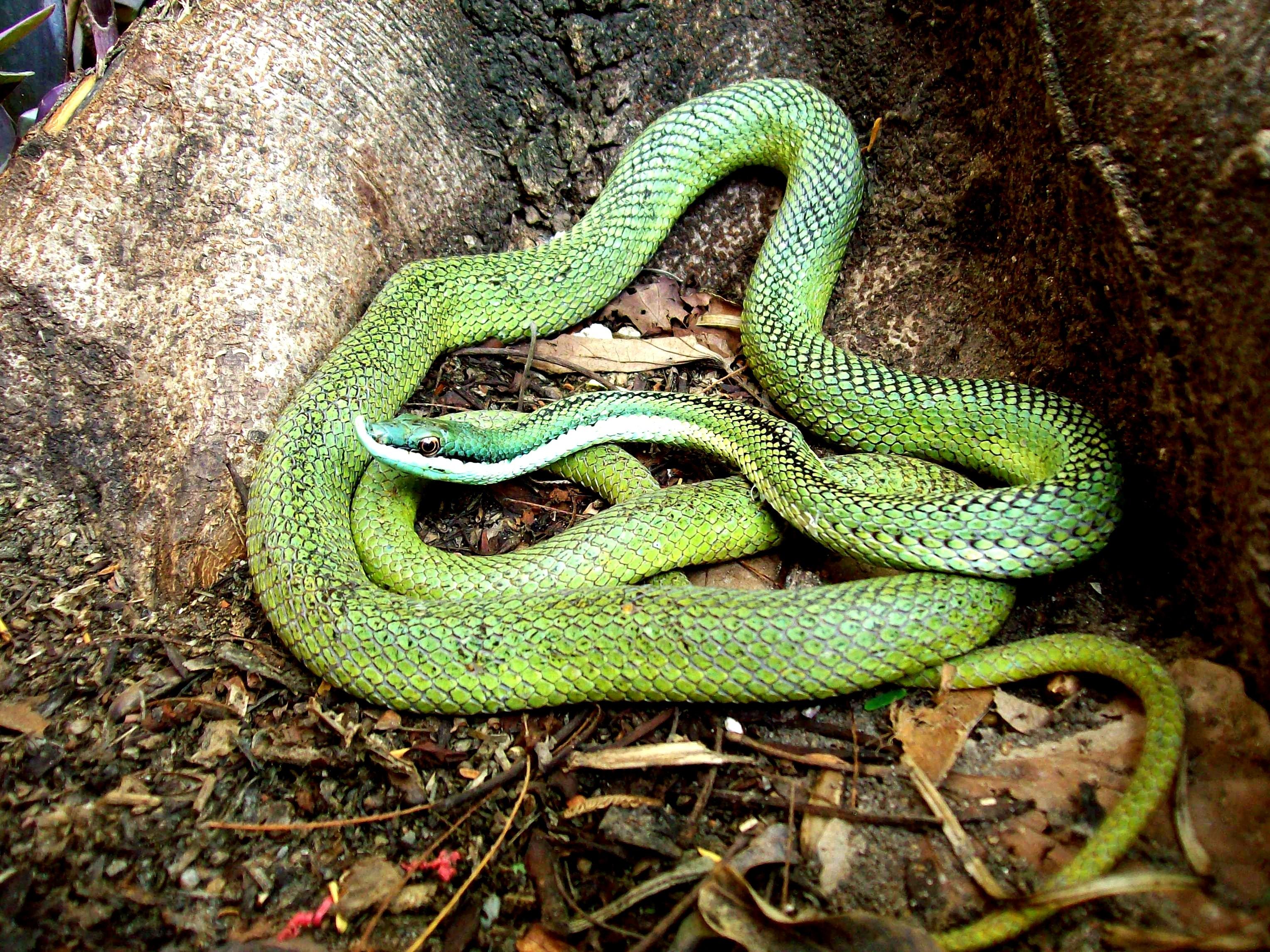 Una serpiente inofensiva… que no lo es tanto