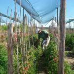 1_cultivos de tomates_150 dpi