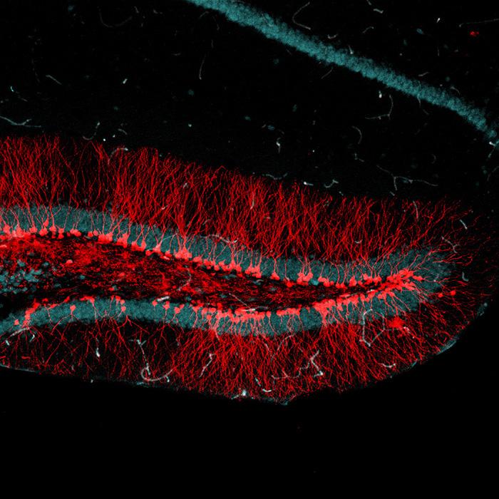 "Descubren que las nuevas neuronas están ""ávidas"" por transmitir información"
