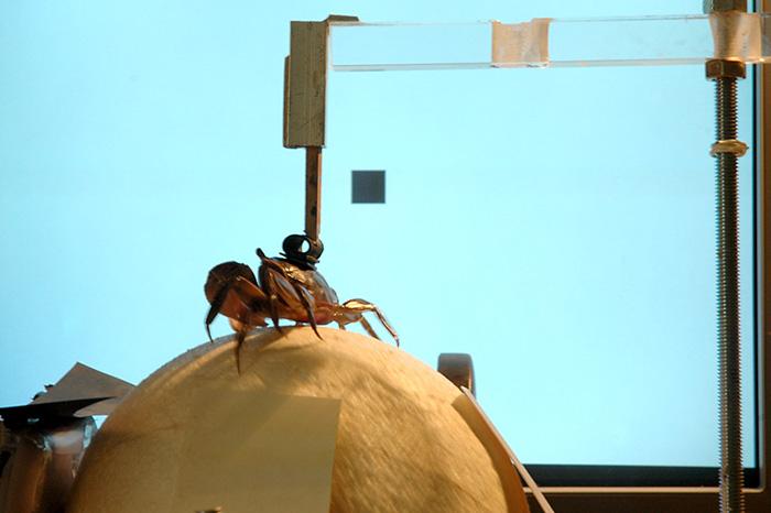Describen el mapa espacial neuronal que guía el escape de los cangrejos