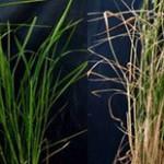 FOTO 2 Plantas con y sin sobreexpresion de gen