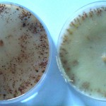 Foto patogeno cultivo b