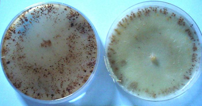 Aplican por primera vez una técnica eficaz para identificar un patógeno de los cultivos