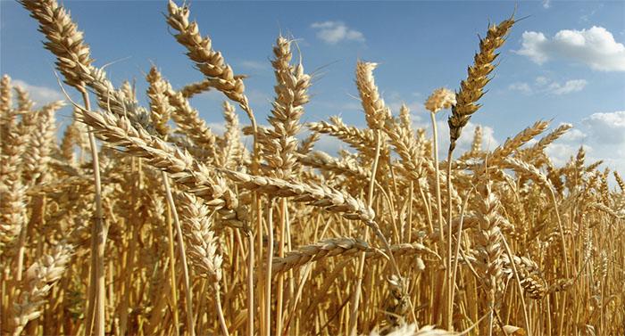 Descifran 5700 genes del trigo