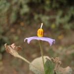 A FOTO 2 Flor tributo Jeanne Baret