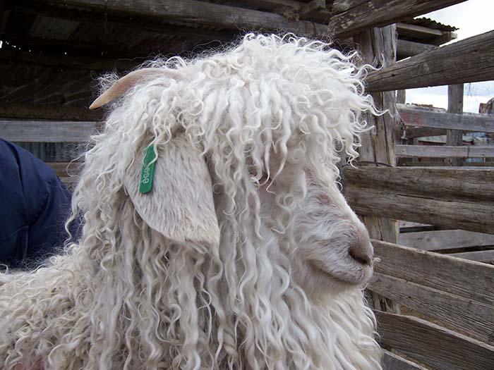Estudio genético busca mejorar la calidad de la fibra de cabras de Angora