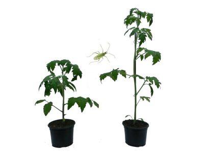 Los científicos del CONICET, de la UBA y de la UNSAM, descubrieron que los sensores de luz de plantas controlan la comunicación química entre plantas e insectos.