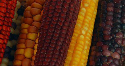Identifican nuevo linaje genético de maíz nativo
