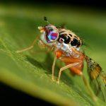 moscas mediterráneas de la fruta (Ceratitis capitata
