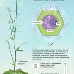 """Casal y su equipo comprobaron que un receptor lumínico de los vegetales también actúa como """"termómetro"""" e influye sobre su crecimiento y desarrollo."""