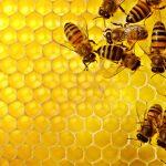 Los investigadores argentinos proponen a las abejas como un modelo útil para investigar la relación del cerebro y las defensas inmunes.