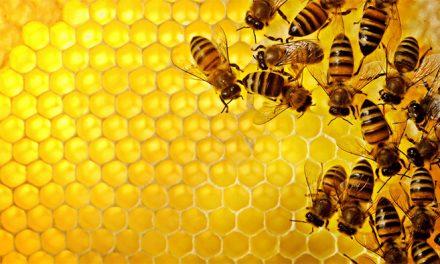 Las abejas iluminan la relación del cerebro y las defensas inmunes