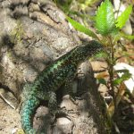 La lagartija típica de los bosques andino-patagónicos correría riesgo como resultado de un cambio de la temperatura de apenas uno a tres grados estimado para el final del siglo XXI. Créditos: Dra. Erika Kubisch